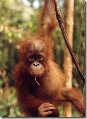 2_baby_orangutan