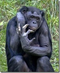 A chimp ponders what to do with its tool