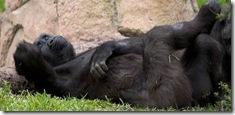 Gorilla at the Audubon Zoo in New Orleans, Louisiana.</p> <p>audubon zoo, zoo, captive, new orleans, louisiana, gorilla, anthropoid ape, ape, relax, sleep, lazy, funny, humorous
