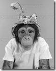 portrait-monkey-chimpanzee-chimp-wearing-stupid-funny-hat-with-bow-~-z1576