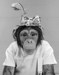 http://sanityfound.files.wordpress.com/2008/07/portrait-monkey-chimpanzee-chimp-wearing-stupid-funny-hat-with-bow-z1576.jpg