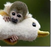 squirrel_monkey-743427