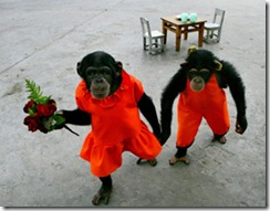 (CHINA OUT) Two orangutans dressed as couple are part of a circus performance at the Chongqing Safari Park on July 1, 2007 in Chongqing Municipality, China. The park is home to 30,000 animals in 430 categories. Animal welfare advocates have become particularly active in promoting the rights of poultry, livestock, lab animals, zoo animals and pets that live under human care, according to state media.  (Photo by China Photos/Getty Images)