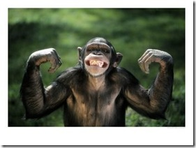 378776~Chimpanzee-Flexing-its-Muscles-Posters