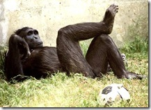 is_this_chimp_relaxing_after_an_exh