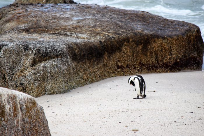 african penguin cape town
