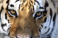 BCR Kali tiger