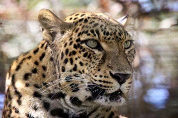 BCR Leopard Sundari