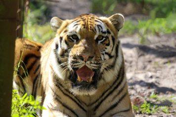 Big Cat Rescue - Andy Tiger