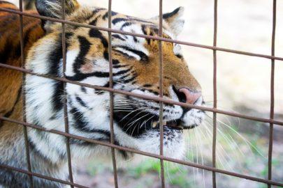 Big Cat Rescue - Priya Tiger