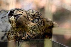 Big Cat Rescue - Sundari Leopard Oct 2017