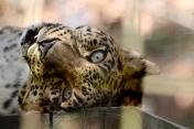 Leopard Sudari Big Cat Rescue Tampa