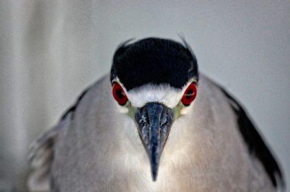 Seaside Seabird Sanctuary - Night heron