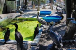 Seaside Seabird Sanctuary - pelicans