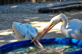 Seaside Seabird Sanctuary - Pelicans Eating