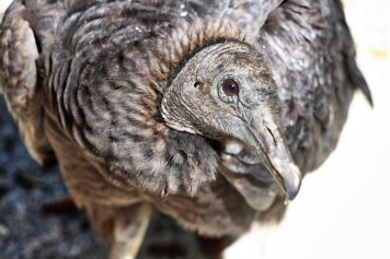 Seaside Seabird Sanctuary Vulture