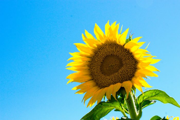 Sunflower with blue sky