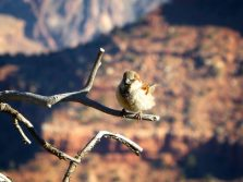 Grand Canyon Bird